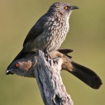 Arrow Marked Babbler 2