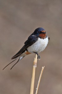 Barn-Swallow-200x300