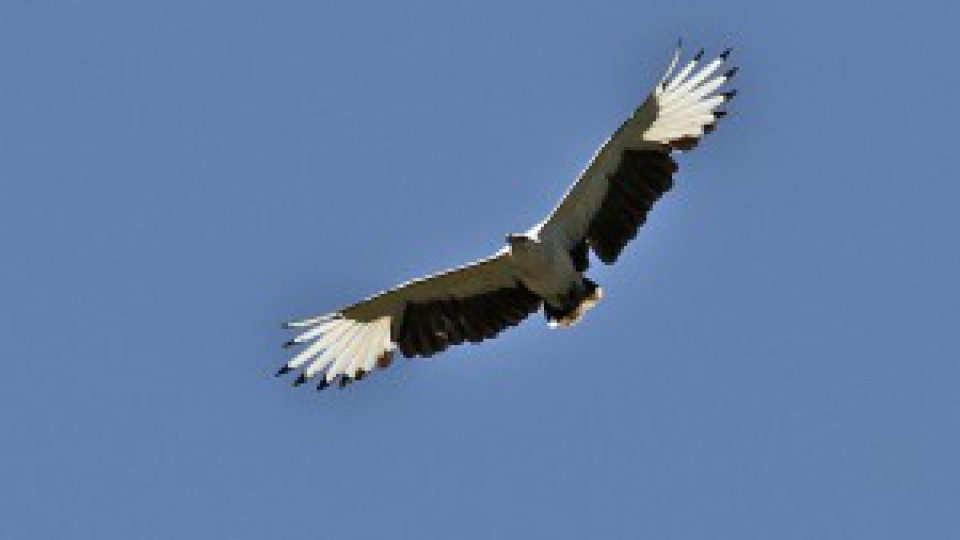 Palm Nut Vulture