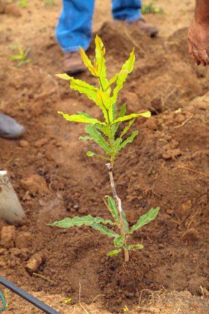 Macadamia Planting at Likweti