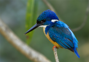 Half Collared Kingfisher - photo by John Davies
