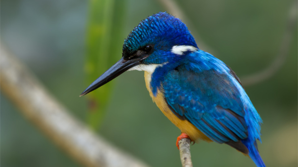 Half Collared Kingfisher