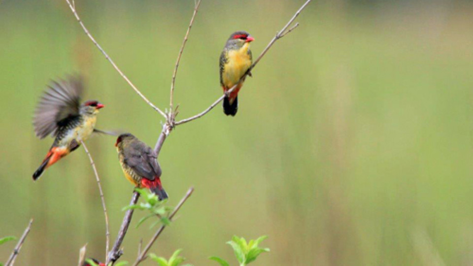 Orange-breasted Waxbill.