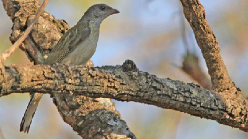 Scaly Throated Honeyguide