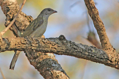 Scaly Throated Honeyguide. Photo by Navarre de Villiers.