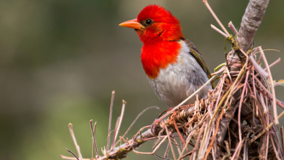 red-headed-weaver