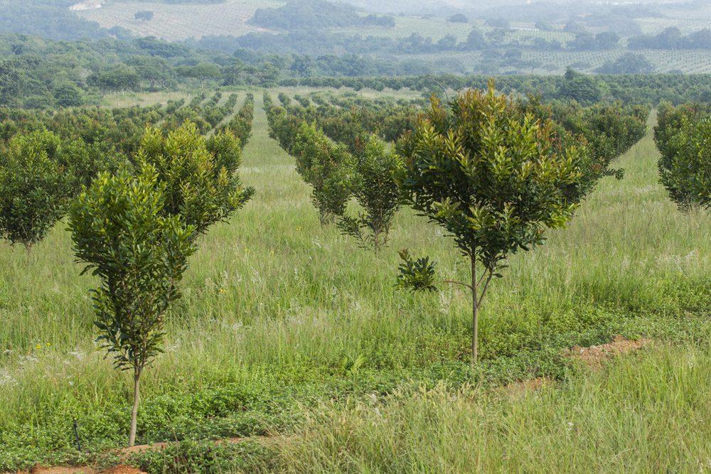 Likweti Macadamia Orchard