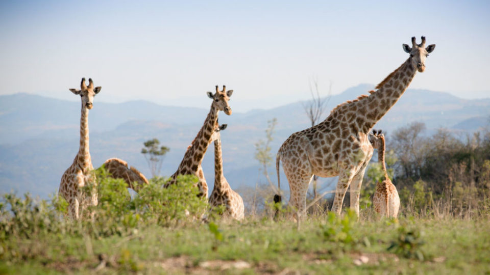 Giraffe at Likweti