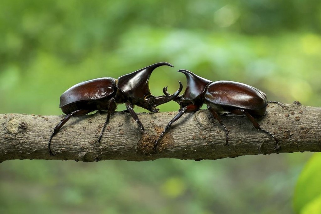 The Rhino Beetle Likweti