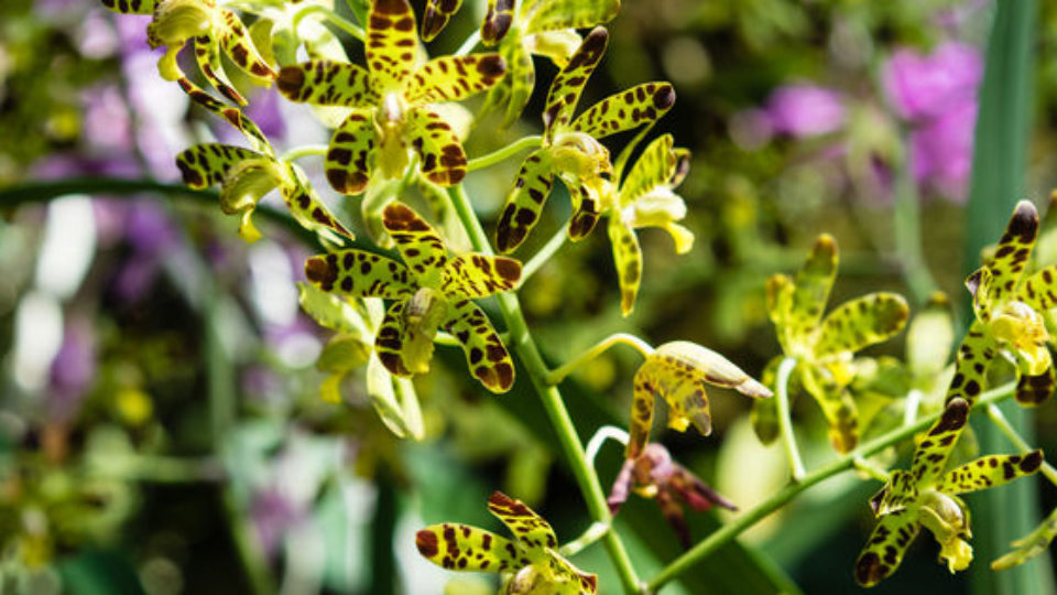 Leopard-Orchid